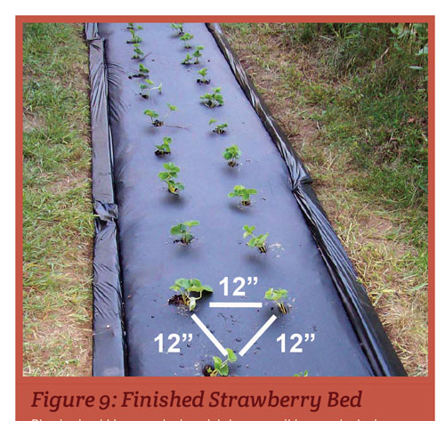 Strawberries In Schools Nc State Extension