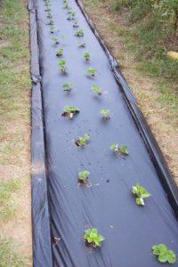 Strawberries in black plastic