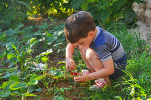 Child eating strawberries in the garden