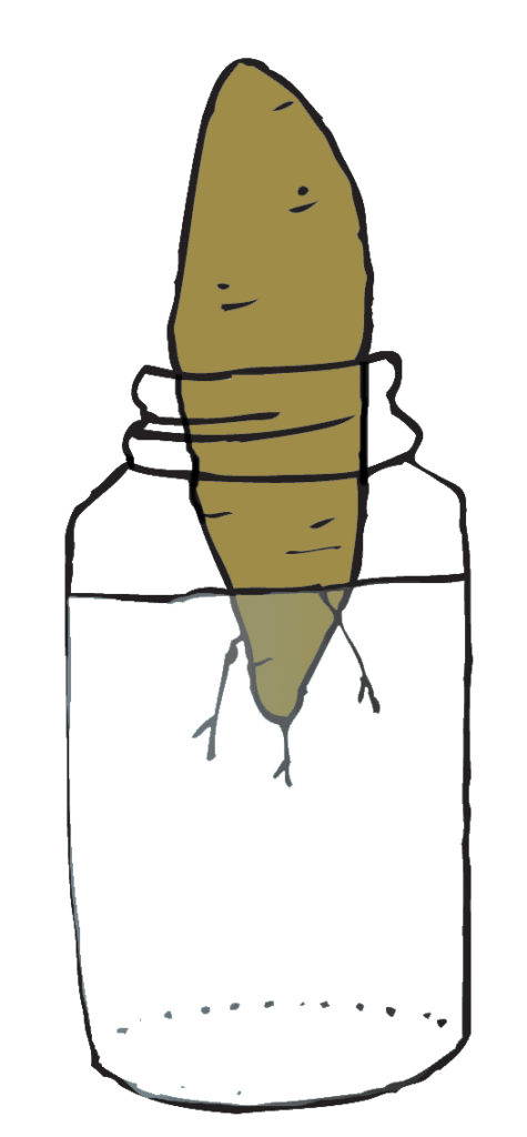 Image of a sweet potato
