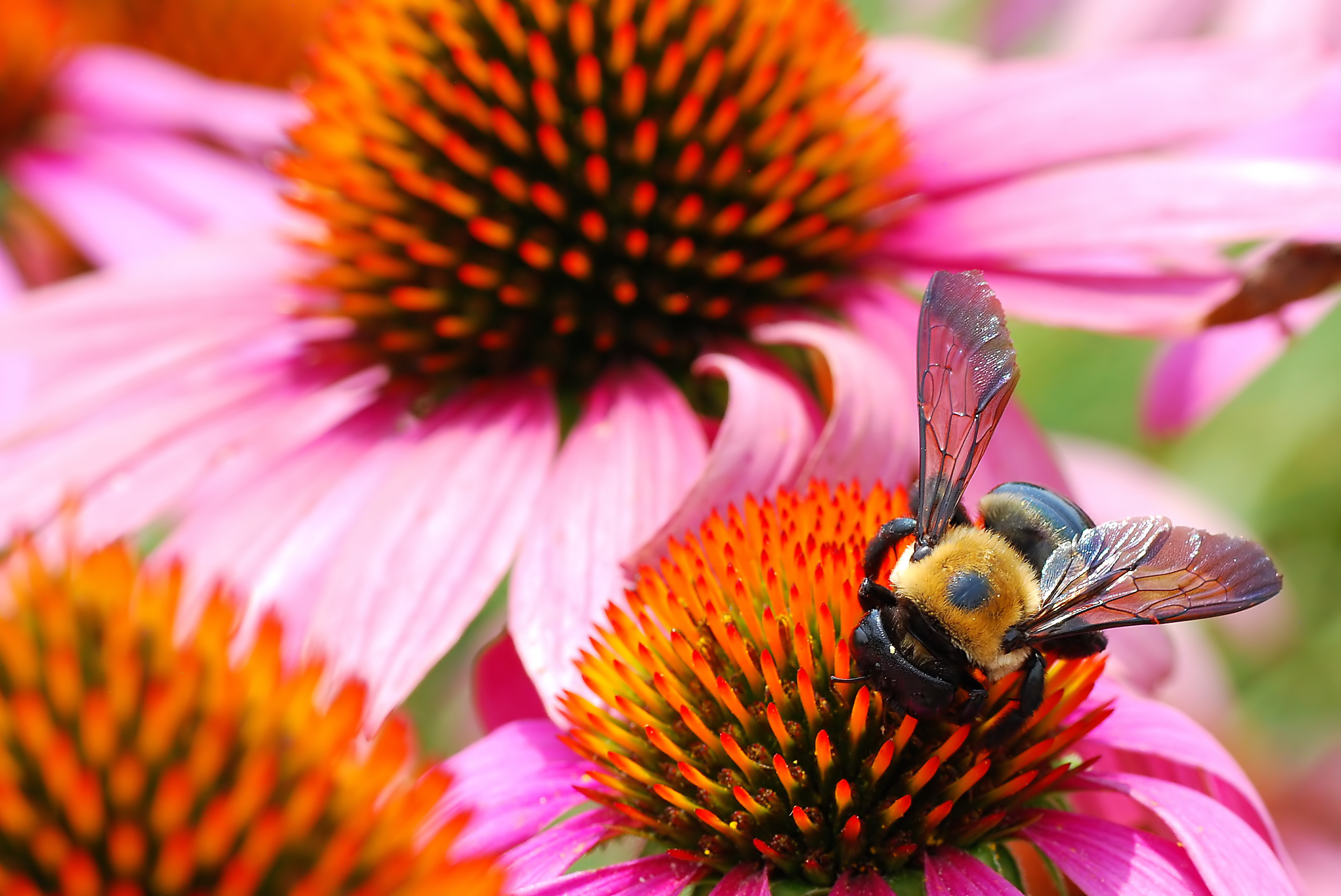 image of a bee on purple coneflower