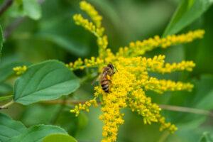 Honeybee (Apis sp.) gather pollen from goldenrod (Solidago sp.) flowers in summer.