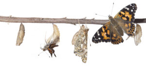 Painted Lady Butterfly Metamorphosis. The Butterfly Metamorphosis From Chrysalis To Butterfly. Metamorphosis is the process of transformation from an immature form to an adult form in two or more distinct stages.