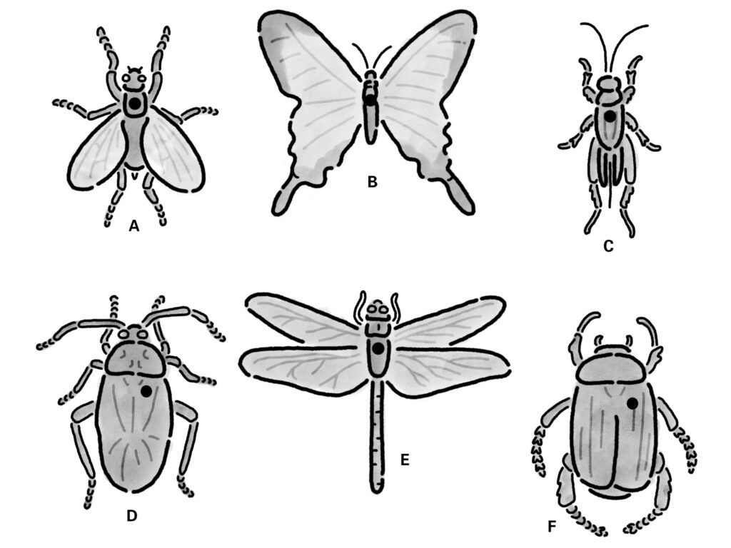 Diagram showing the placement of insect pins. Note the the pin is usually just slightly to the right of the midline of the insect