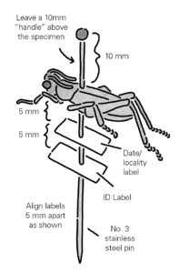 When labeling insects be sure to have enough space on the pin to the top of the insect and the labels should be about 5mm apart