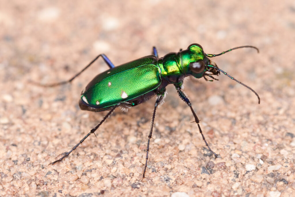 shiny green metallic tiger beetle