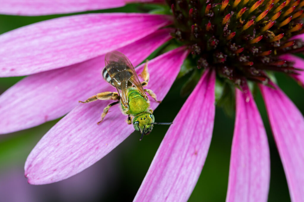 image of green sweat bee